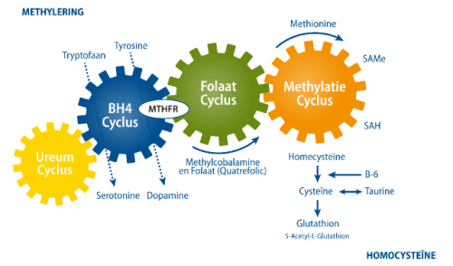 Methylation Cyclus Web
